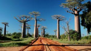 Allées des baobabs
