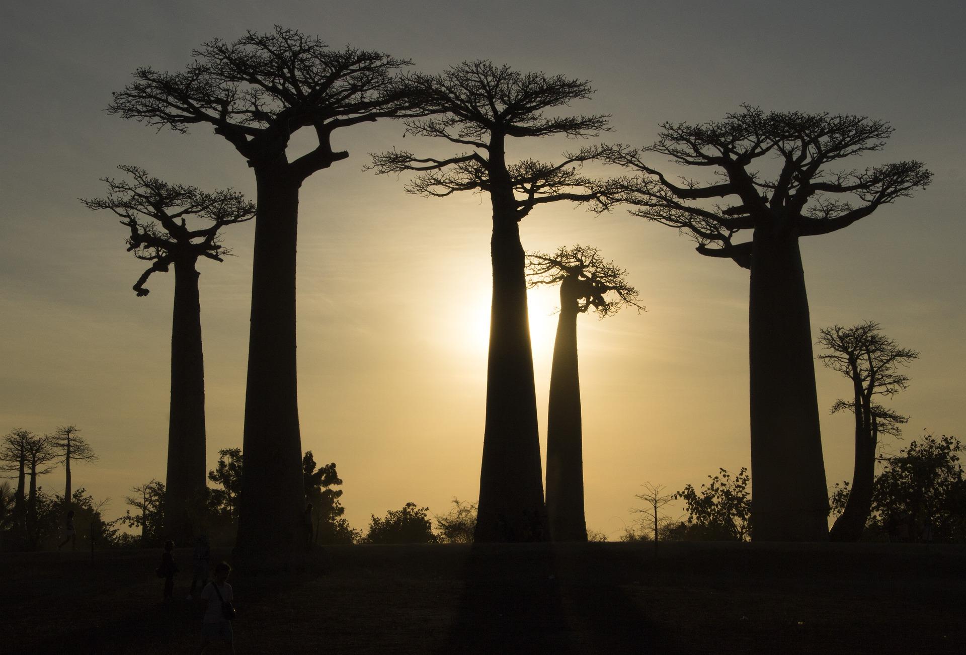 Que savoir sur les Baobabs de Madagascar?